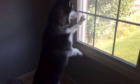 Η επική αντίδραση ενός Χάσκι όταν βλέπει ελάφι! (vid)