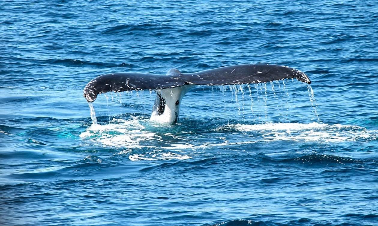 Ινδονησία: Νεκρή φάλαινα είχε στο στομάχι της 6 κιλά πλαστικών αποβλήτων!