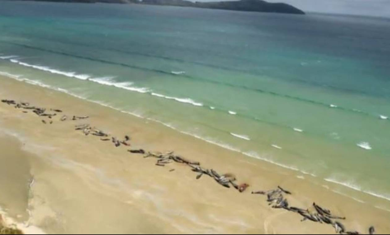 Περίπου 150 μαυροδέλφινα ξεβράστηκαν σε ακτή στα νότια της Νέας Ζηλανδίας (vid)