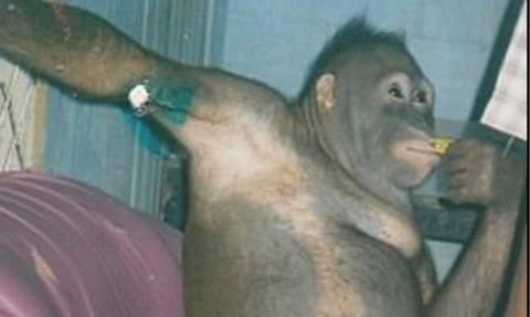 ΣΟΚ: Κρατούσαν ουρακοτάγκο ως σκλάβο του σεξ σε οίκο ανοχής για δύο δολάρια