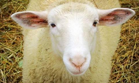 Σκληρές εικόνες: Γεννήθηκε πρόβατο με τρία μάτια και δύο γλώσσες (video)