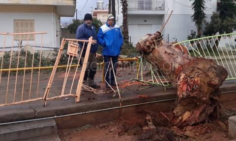 Καιρός: Τεράστιο δένδρο έπεσε έξω από δημοτικό σχολείο στα Χανιά (pics)