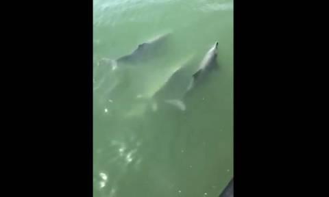 Δελφίνια έδωσαν τη δική τους «παράσταση» σε επιβάτες σκάφους (vid)