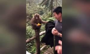 Η μαϊμού που σκουπίζει τα χέρια της από… ρούχο τουρίστα (vid)
