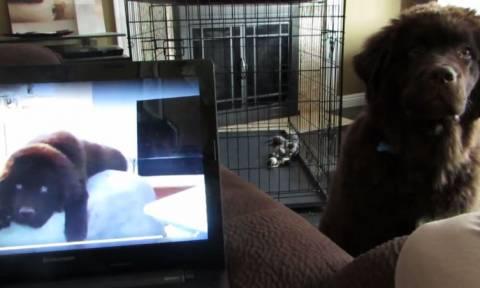 Πώς αντιδρά σκύλος που ακούει τη φωνή του αδερφού του στον υπολογιστή; (vid)