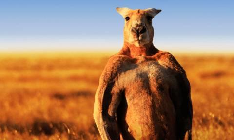 Οργή στην Αυστραλία: Ανθρώπινο κτήνος βασάνισε και σκότωσε καγκουρό με τερατώδη τρόπο