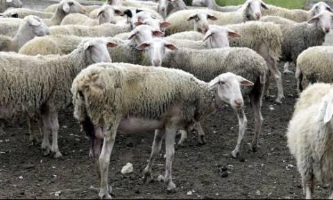 Λασίθι: Φόρτωσαν τα πρόβατα σε φορτηγό και εξαφανίστηκαν