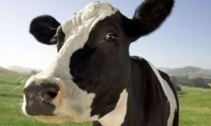 Τρελά γέλια: Βρέθηκε αγελάδα που ξέρει… Κουνγκ Φου!