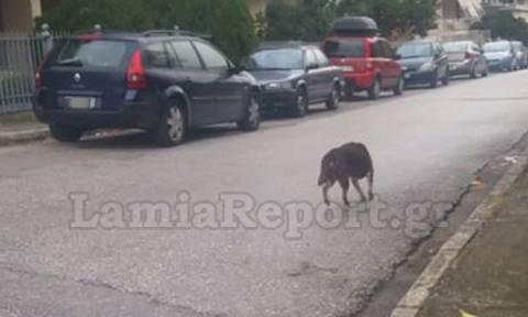 Λαμία: Σκύλος δάγκωσε μαθητή την ώρα που πήγαινε φροντιστήριο (pics)