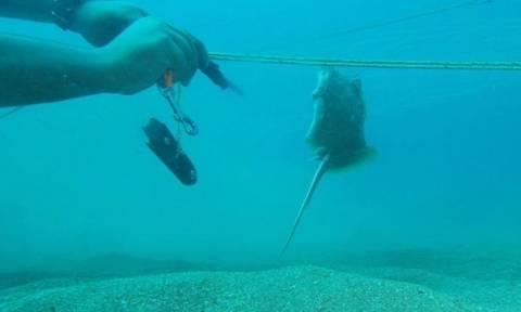 Δύτης δίνει... μάχη μ' ένα μωρό σαλάχι για να το απελευθερώσει απ' τα δίχτυα (Video)