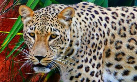 H απάντηση του Αττικού Ζωολογικού Πάρκου για τη θανάτωση των τζάγκουαρ