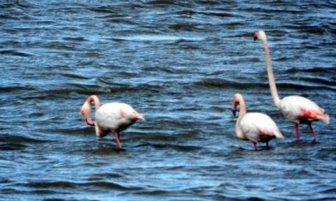 Φλαμίνγκο στη λιμνοθάλασσα της Λευκάδας - Υπέροχες εικόνες (pics+vid)