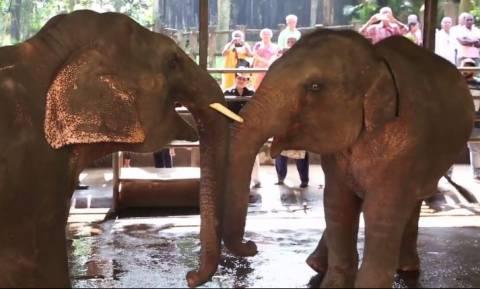 Αξιαγάπητα μωρά ελέφαντες παλεύουν μεταξύ τους (vid)