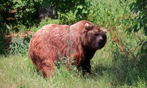 ΣΟΚ: Αρκούδα κατασπάραξε κυνηγό που τη μεγάλωνε ως... κατοικίδιο