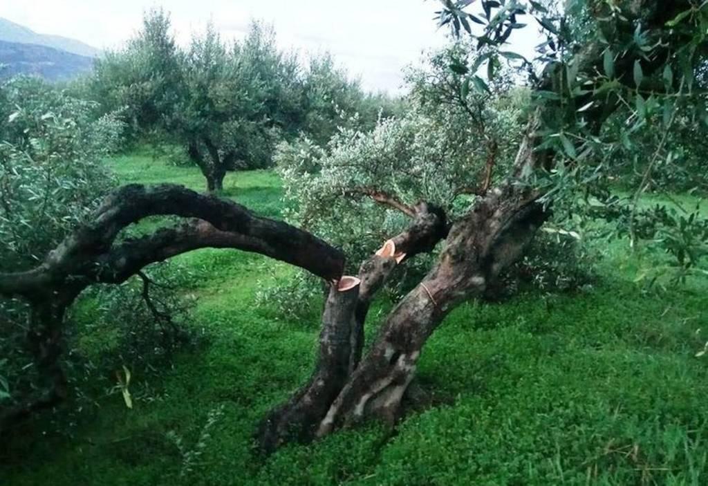 Κρήτη: Σε απόγνωση αγρότης που του έκοψαν 100 ρίζες ελιές