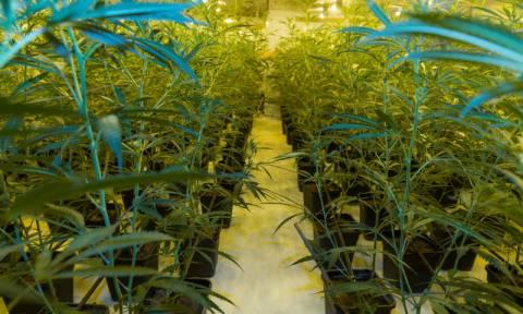 Ρέθυμνο: Βρέθηκε ο καλλιεργητής των 73 δενδρυλλίων κάνναβης στον Μυλοπόταμο