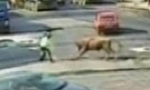 Μαινόμενος ταύρος βλέπει τροχονόμο και επιτίθεται. Σοκαριστικές εικόνες (video)