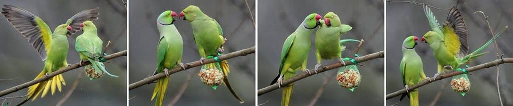 Αυτός είναι ο λόγος για τον οποίον οι παπαγάλοι έχουν κυριεύσει τα πάρκα της Αθήνας (Pics)