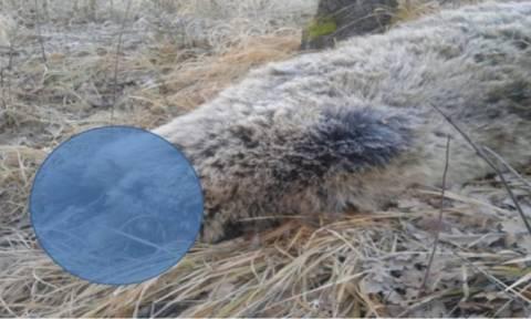 Φρίκη στην Κοζάνη: Αποκεφάλισαν έγκυο αρκούδα