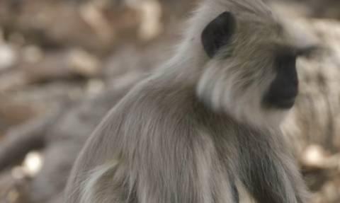 Ραγίζει καρδιές: Μαϊμού αρνείται να εγκαταλείψει το νεκρό παιδί της (video)