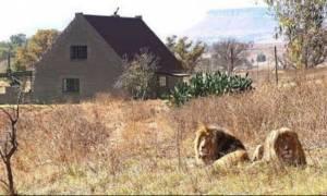 Απίθανο: Σε αυτό το AirBnB κοιμάσαι δίπλα σε 77 λιοντάρια! (pics&vid)