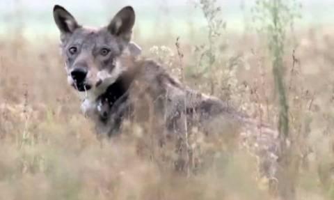 Χτύπησε με το αυτοκίνητό του ένα λύκο... Εξι μηνές μετά ήρθε η ώρα της απελευθέρωσης (Video)