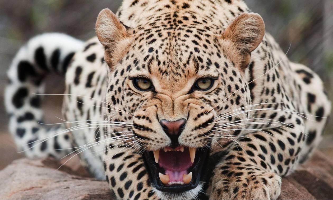 Ο τρόμος παραμονεύει στις φυλλωσιές: Πεινασμένη λεοπάρδαλη έχει γίνει ο «εφιάλτης» των κατοίκων