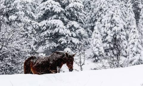 Άγρια άλογα στα χιονισμένα βουνά της Σαμαρίνας (photos)