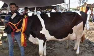 Η μονόφθαλμη αγελάδα που λατρεύεται ως «θαύμα του Θεού» στην Ινδία! (pic+vid)