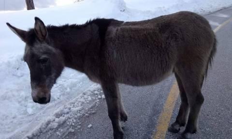 Εξοργιστικό: Άφησαν γάιδαρο νηστικό μέσα στο χιόνια για να πεθάνει μόνος του