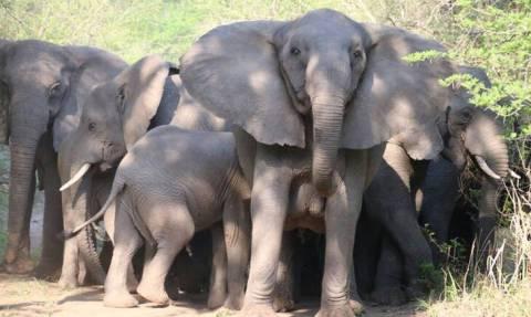 Μυστήριο με τους ελέφαντες της Μοζαμβίκης – Γεννιούνται χωρίς χαυλιόδοντες