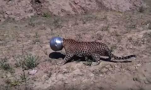 Μη σου τύχει! Πήγε για νερό αλλά τα βρήκε «σκούρα» – Δείτε τι έπαθε η άτυχη λεοπάρδαλη (Vid)