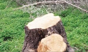 Σάλος στο Ηράκλειο: Κόβουν υπεραιωνόβιες ελιές για... καυσόξυλα