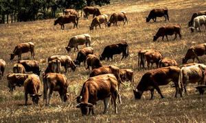 Μυτιλήνη: Κρούσμα καταρροϊκού πυρετού σε μονάδα κτηνοτροφίας