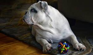 Φοβερό βίντεο: Μπουλντόγκ «προειδοποιούν» σκυλιά για κίνδυνο σε ταινία τρόμου