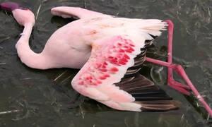 Фламинго стали жертвами циклона на Кипре