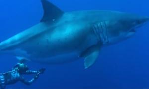 Εντυπωσιακό βίντεο: Κολύμπησαν δίπλα σε γιγάντιο λευκό καρχαρία