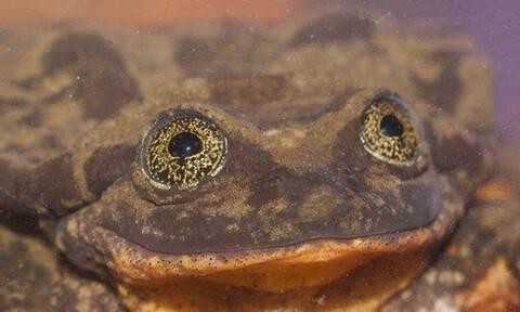 Βάτραχος,τελευταίος του είδους του, ίσως βρήκε ταίρι !