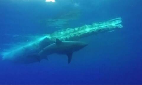 Η συγκλονιστική στιγμή που καρχαρίας τρώει μια φάλαινα στον βυθό (vid)