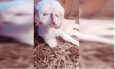 Απίστευτο: Γεννήθηκε πρόβατο με… δύο κεφάλια στην Κίνα (vid)