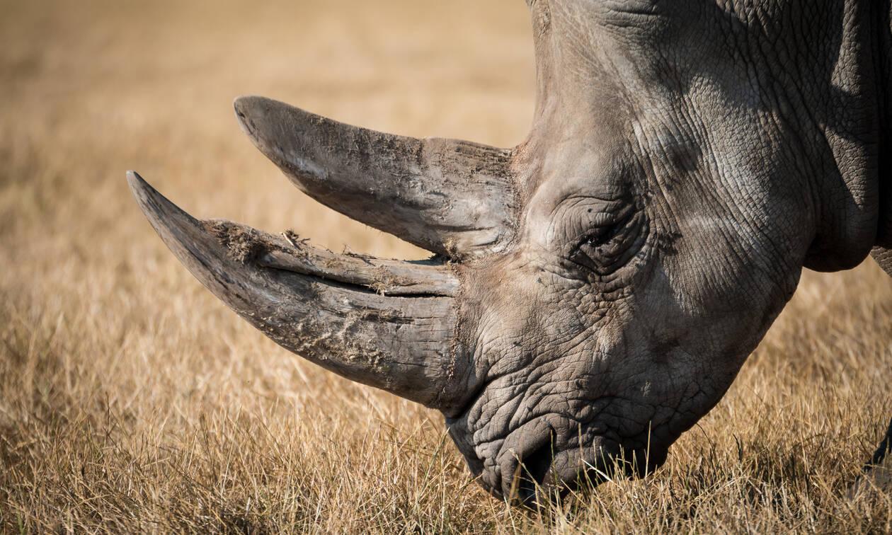 Μάχη ρινόκερων μπροστά σε κάμερα (video)