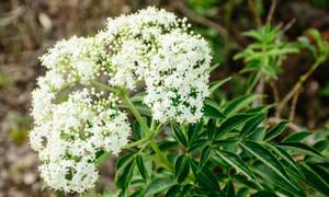 Βαλεριάνα: Όσα πρέπει να γνωρίζετε για το ηρεμιστικό φυτό (video)