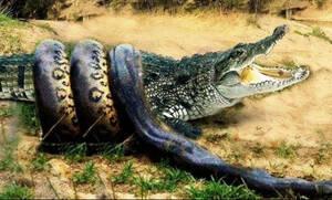Συγκλονιστική μάχη πύθωνα εναντίον κροκόδειλου με απρόσμενη κατάληξη!