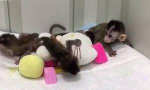 Στην Κίνα κλωνοποίησαν γενετικά τροποποιημένες μαϊμούδες (vid)