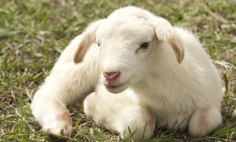 Πάτρα: Τσουχτερό πρόστιμο σε κτηνοτρόφο - Δείτε γιατί
