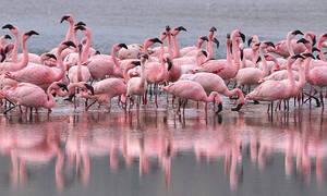 На Кипр прилетели розовые фламинго