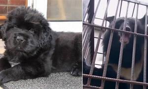 Αγόρασε ένα μαύρο κουτάβι που αποδείχθηκε.. αρκούδα! (photos)