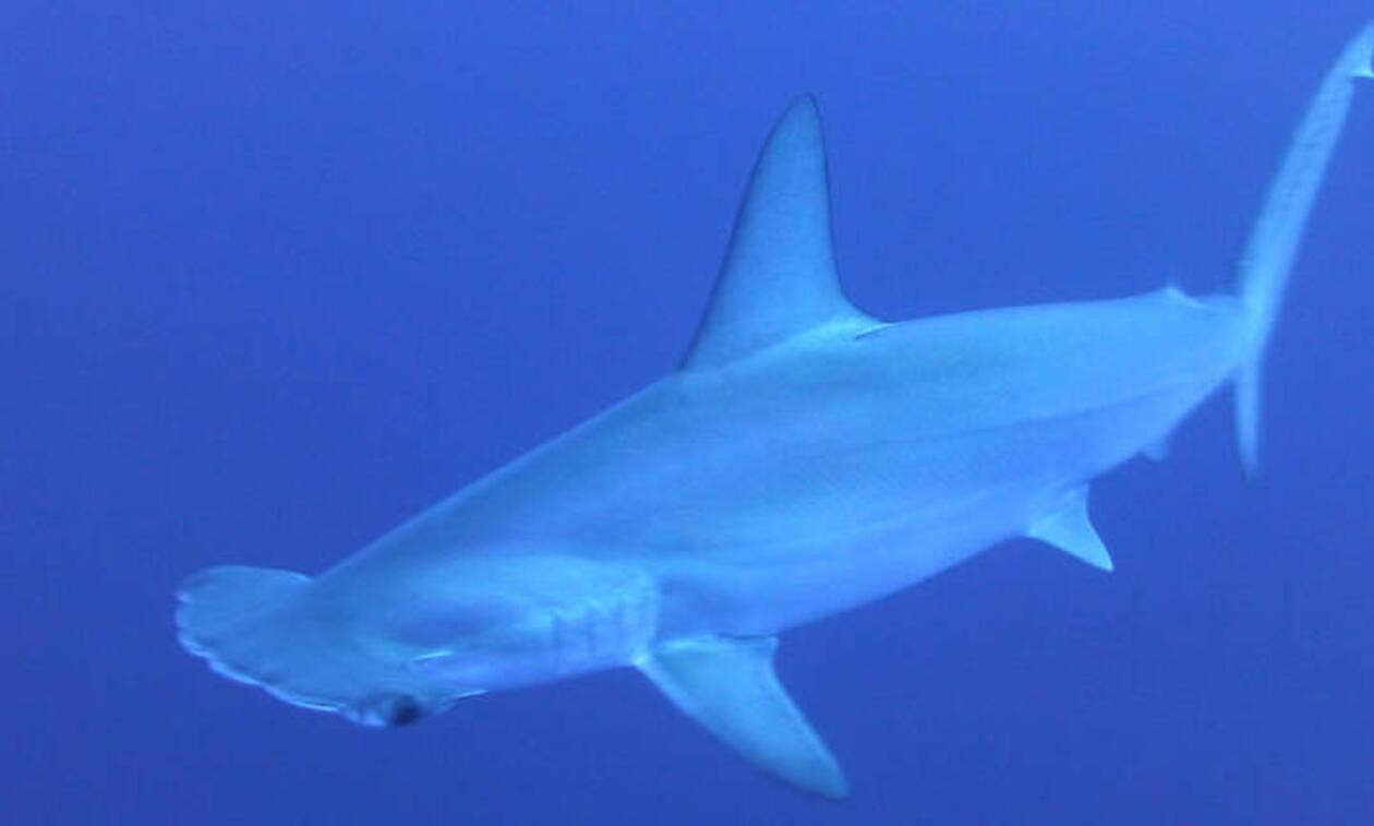 Σάλος στη Βρετανία: Fish and chips σερβίρουν... καρχαρίες υπό εξαφάνιση!