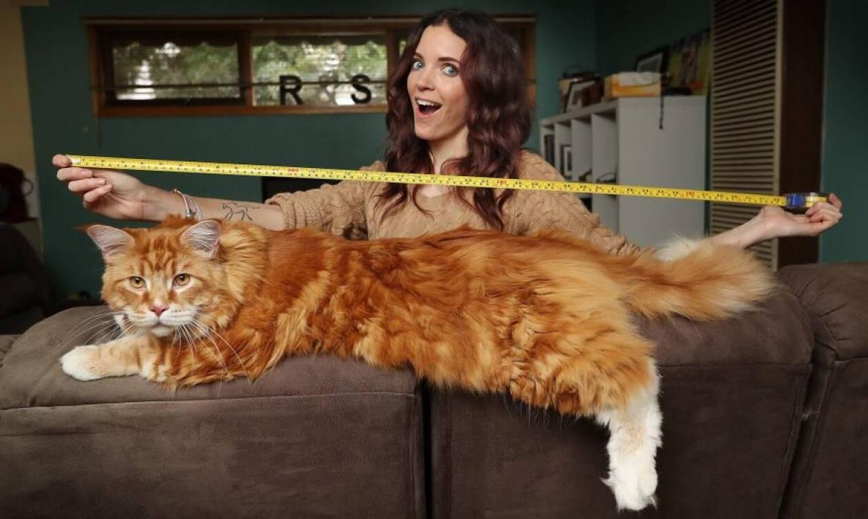 17df22202fa8 Πήραν ένα γατάκι για συντροφιά αλλά δεν ήξεραν ότι θα εξελιχθεί στη μεγαλύτερη  γάτα στον κόσμο