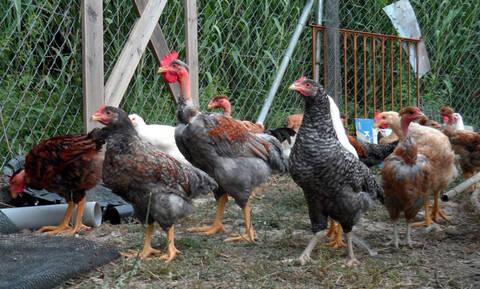 Ζούμε στην «Εποχή του Κοτόπουλου» σύμφωνα με τους επιστήμονες